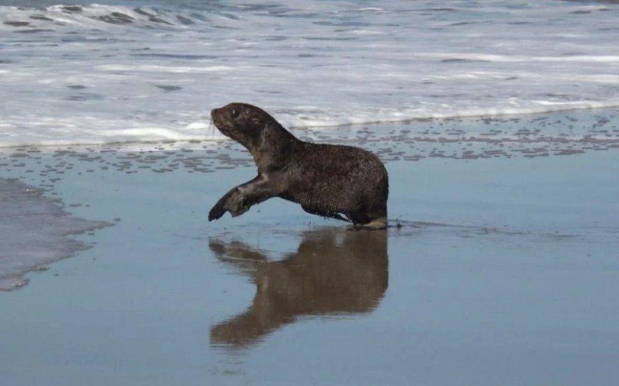 De Dock Sud a la Costa Atlántica: así regresaba al mar un lobo marino rescatado