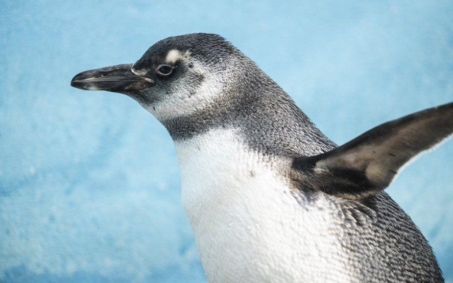 Video: así volvió al mar el pingüino que vivía como mascota en una casa de Córdoba