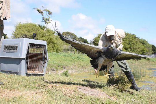 El águila mora había sido encontrada en San Clemente del Tuyú dos años atrás (Fundación Mundo Marino)
