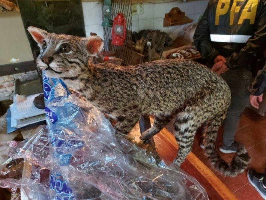 Desmantelan dos talleres con animales listos para taxidermia