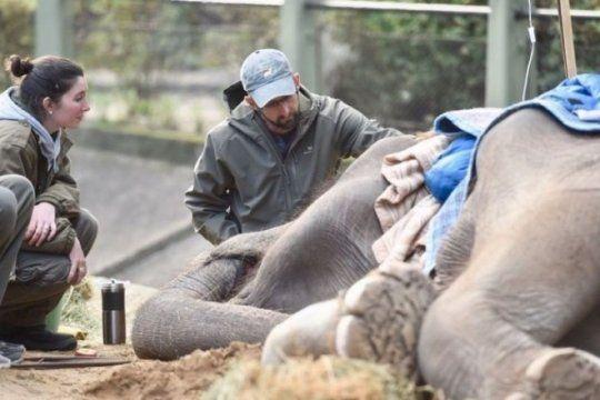 50 anos de encierro: ?mas alla de la enfermedad en las patas, pelusa vivio el promedio que vive un elefante?