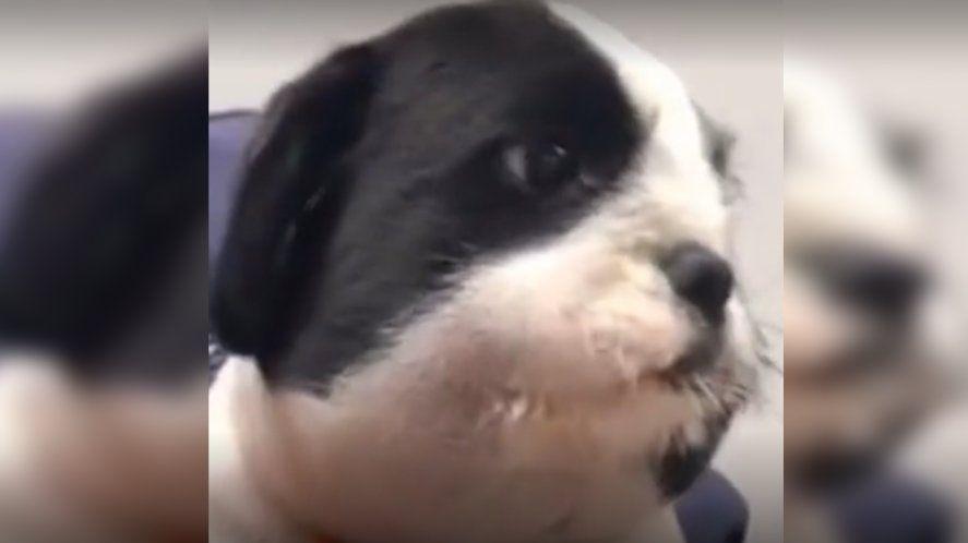 Video viral: así quedó la cara de un cachorro que mordió una abeja