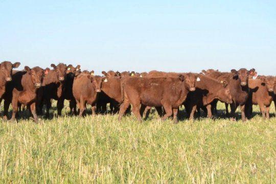 en la cuenca del salado, el stock bovino recupero los niveles de 2008