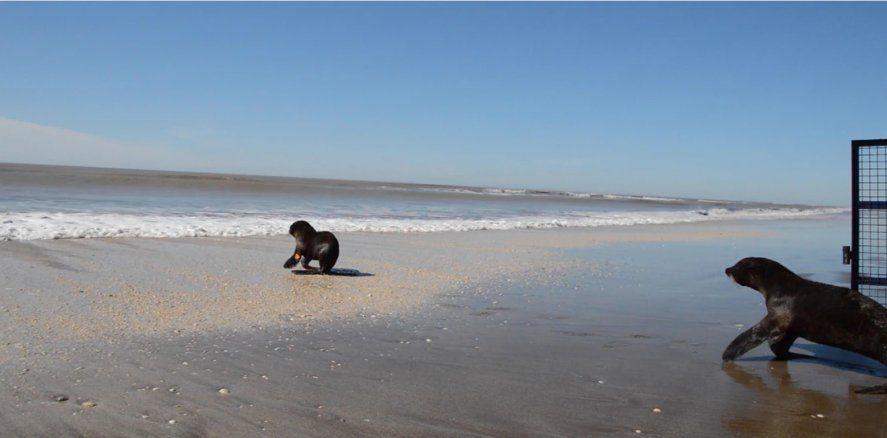 Liberaron a un lobo marino que había sido rescatado en Quilmes