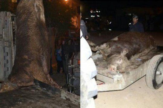 volco otro camion camino al matadero y defensores de animales intentan rescatar a las vacas heridas