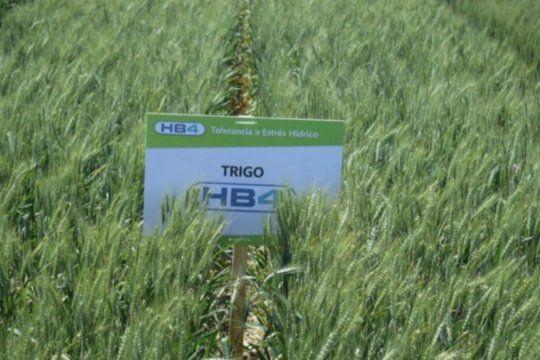 Un histórico amparo colectivo para frenar el trigo transgénico en la provincia
