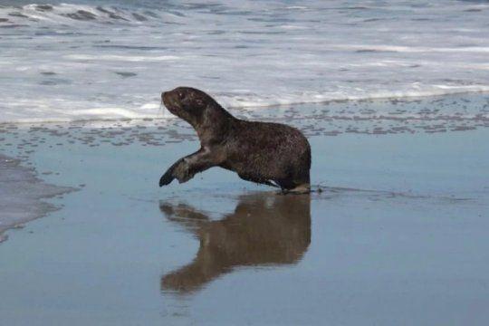 de dock sud a la costa atlantica: asi regresaba al mar un lobo marino rescatado