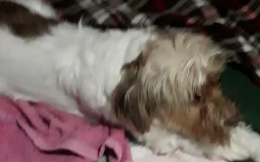El increíble video de un perrito sufriendo un ataque de epilepsia por la pirotecnia en Navidad