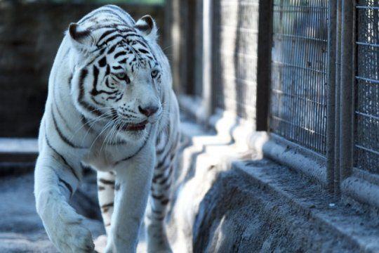 tristeza en el zoologico de la plata: murio la tigresa blanca ?dhara?