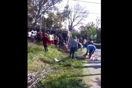 Vecinos de Pilar atrapan los cerdos que escaparon tras el vuelco de un camión.visibility