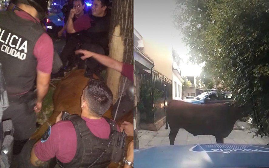 Maltrato animal: así se llevaron a la vaca que saltó del camión para intentar salvarse del matadero