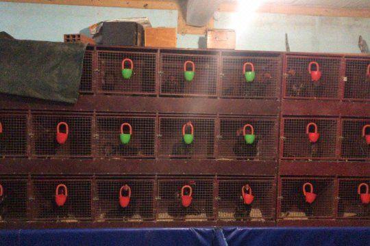 Los 85 gallos de riña fueron descubiertos en Abasto