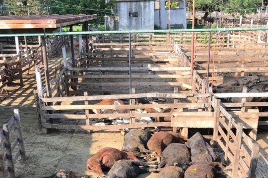 ola de calor fatal: en los corrales del mercado de liniers murieron mas de 100 bovinos