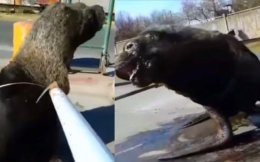Video: así rescataban a un lobo marino atrapado con una cinta de embalar en Mar del Plata