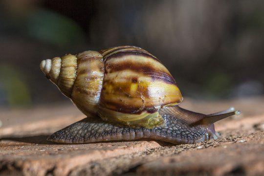 El caracol gigante africano fue declarado dañino y perjudicial para la biodiversidad y la salud humana.
