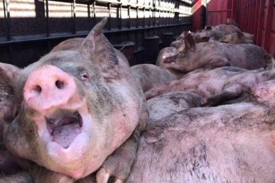 ?gritos, sangre y la mas profunda desesperacion?, el crudo relato de activistas tras el vuelco de un camion con cerdos
