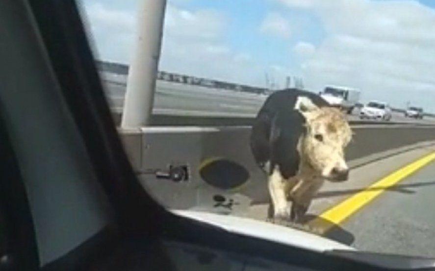 Video: Peligro en la Autopista La Plata - Buenos Aires por una vaca suelta