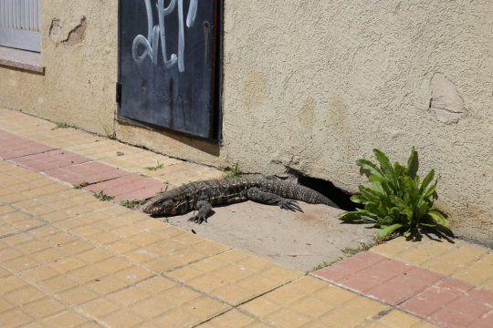 El lagarto overo es omnívoro y no agrede a los humanos si no se siente acorralado