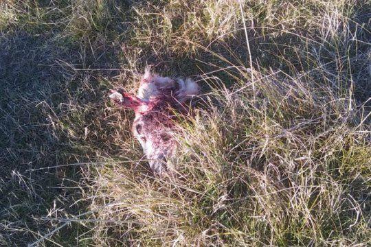 hallazgo macabro: 7 ovejas destripadas en una escuela agraria
