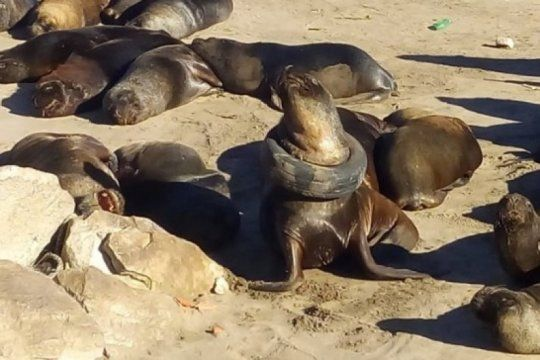 mar del plata: liberaron al lobo marino que aparecio con una rueda en el cuello