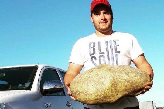 sorpresa en benito juarez: productores encuentran una papa gigante de casi 4 kilos