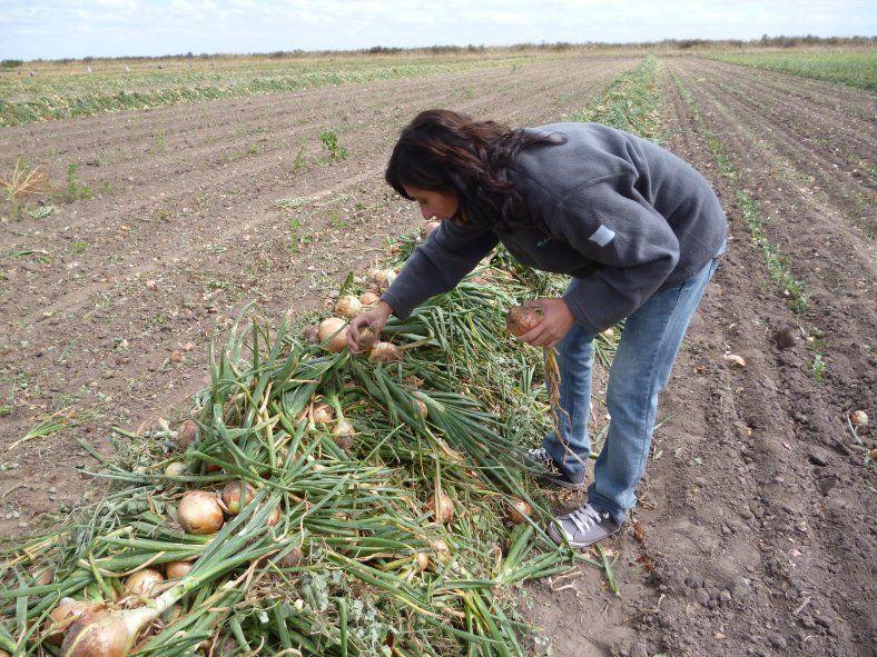 Otorgan subsidios a productores cebolleros