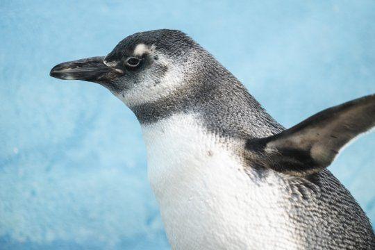 video: asi volvio al mar el pingüino que vivia como mascota en una casa de cordoba