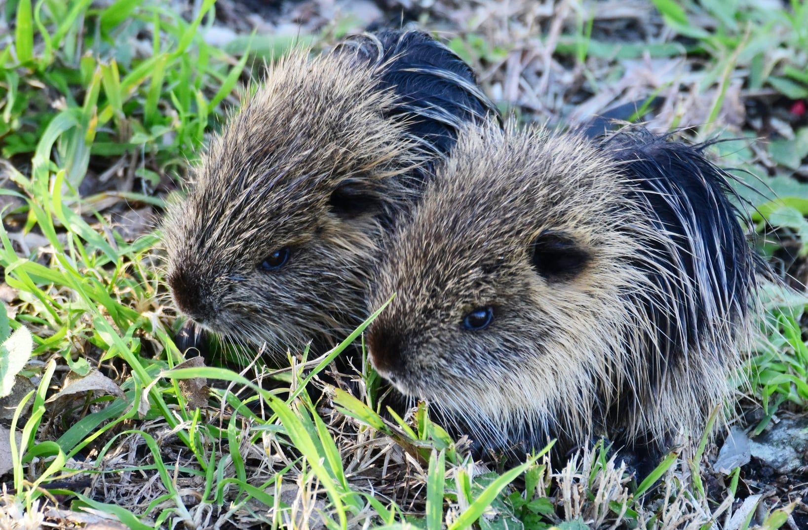 Los coipos son roedores hervíboros (Foto: Jorge Oscar Nedela)