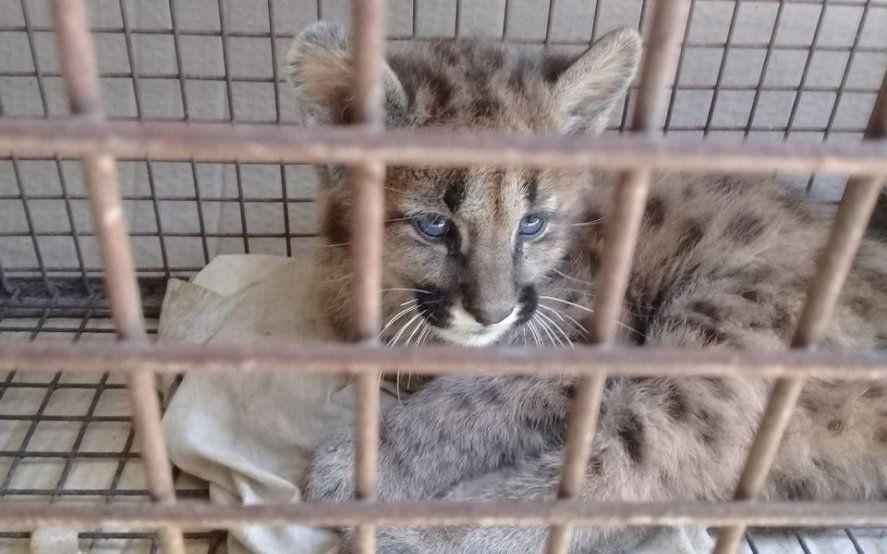 Les dejaron un puma de dos meses: lo habían capturado para que sea su mascota
