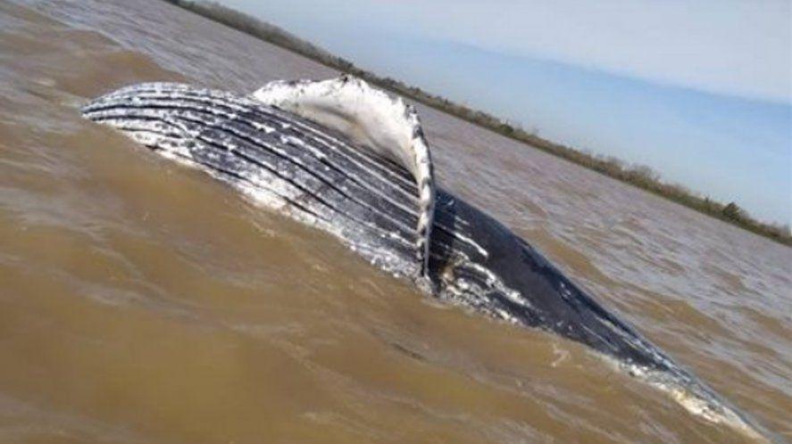 Ensenada: encuentran una ballena jorobada en Punta Lara