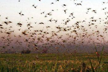 Millones de langostas entraron a Santa Fe y aterrorizan a los productores: ¿pueden llegar a Buenos Aires?
