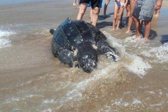 revuelo entre los turistas: encontraron una tortuga marina muerta en la costa de mar azul