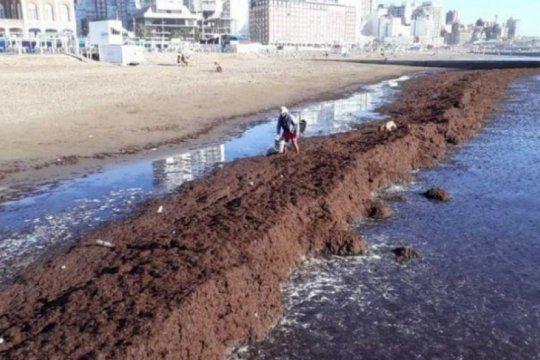 una invasion de algas cubrio las playas del centro de mar del plata