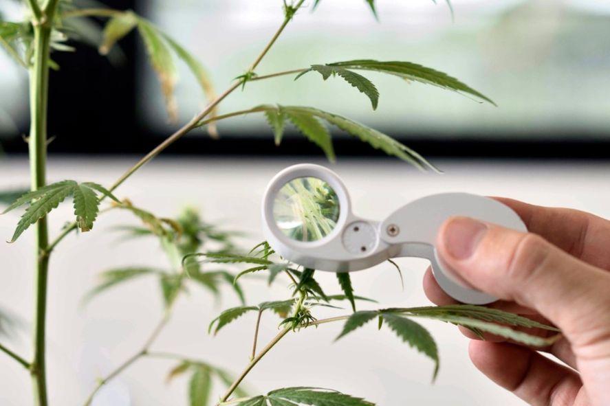El curso de cannabis medicinal comenzará en septiembre