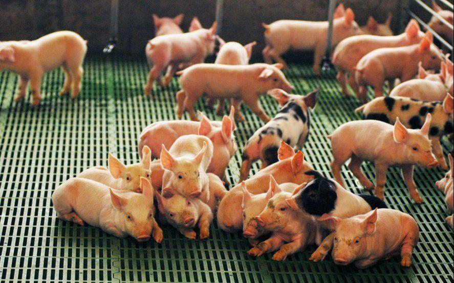 Con una inversión de 4 millones de pesos, Agroindustria impulsará la producción de cerdos en el sudoeste bonaerense