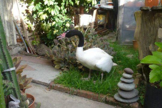 visita inesperada: un matrimonio de la plata se encontro con un cisne en el fondo de su casa