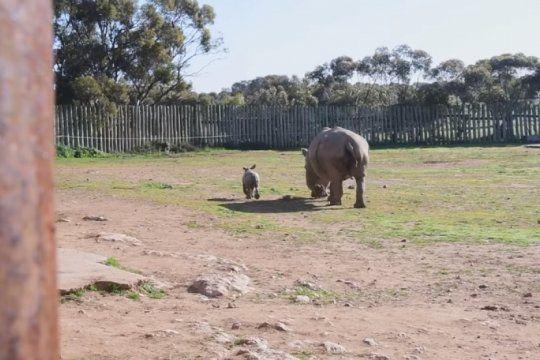video viral: el bebe rinoceronte que lleno de ternura las redes