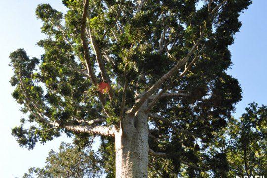 El árbol de cristal fue declarado Monumento Natural por la Cámara de Diputados bonaerense (Fotos: Bafilm - PBA)