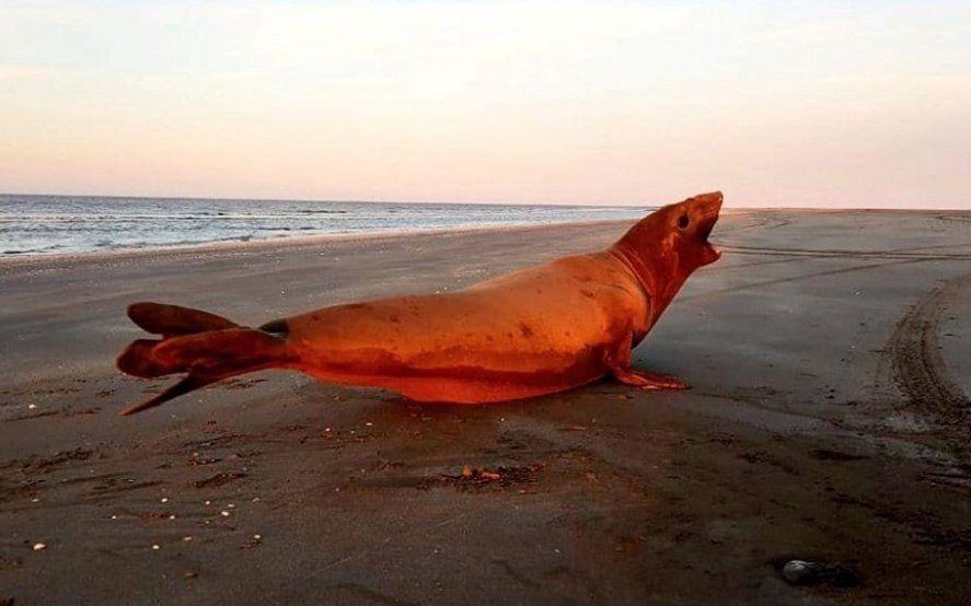 Devolvieron a su hábitat natural al elefante marino que se había varado en Lezama