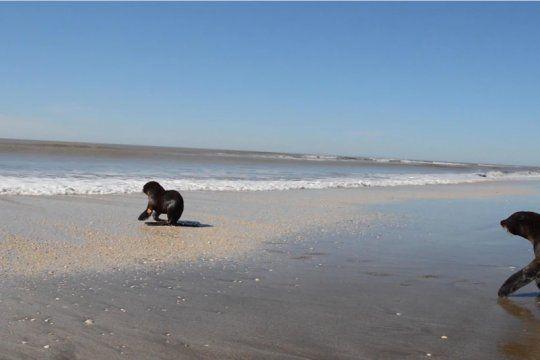 liberaron a un lobo marino que habia sido rescatado en quilmes