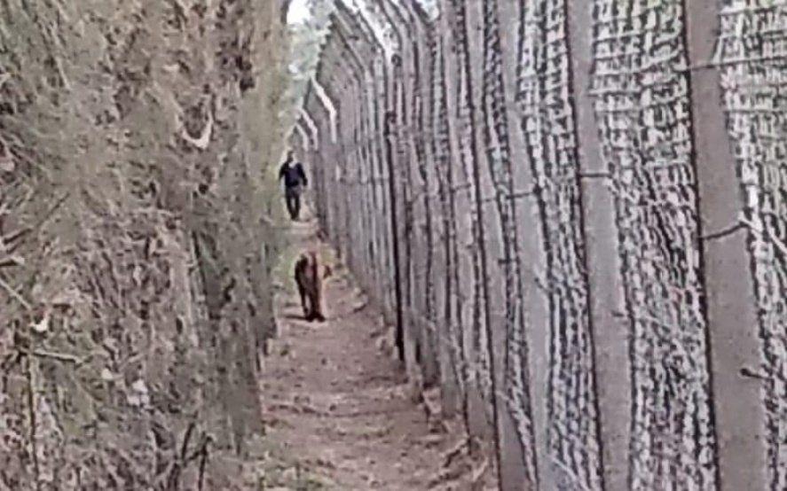 Alivio: encontraron el puma que estaba suelto en Brandsen y analizan si estaba en cautiverio