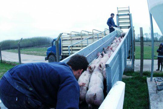 con la peste porcina que no afloja en china, productores argentinos esperan abrir nuevos mercados