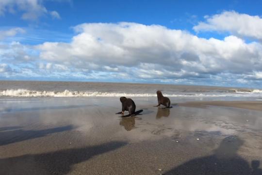 emotivo: asi devolvian al mar a cuatro lobos marinos rescatados