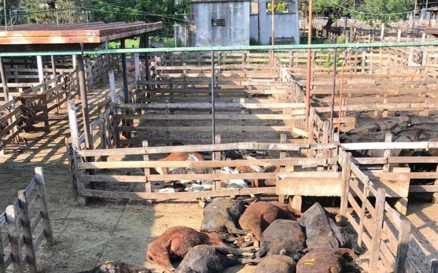 Ola de calor fatal: en los corrales del Mercado de Liniers murieron más de 100 bovinos