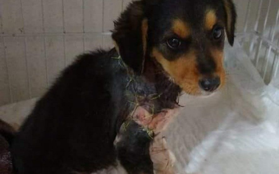 El caso Chocolate se repite: piden auxilio para salvarle la vida a una perra despellejada en La Plata