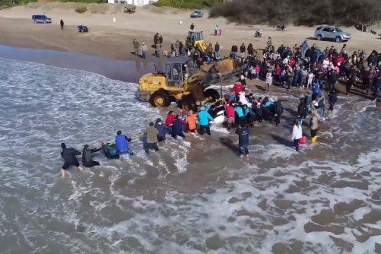 video: asi fue el dramatico operativo para salvar a la orca encallada cerca de mar de ajo
