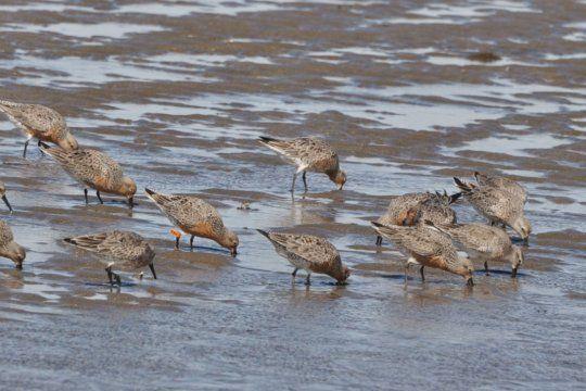 El Plan Nacional plantea acciones para la conservación de Aves Playeras (Foto: WHSRN)