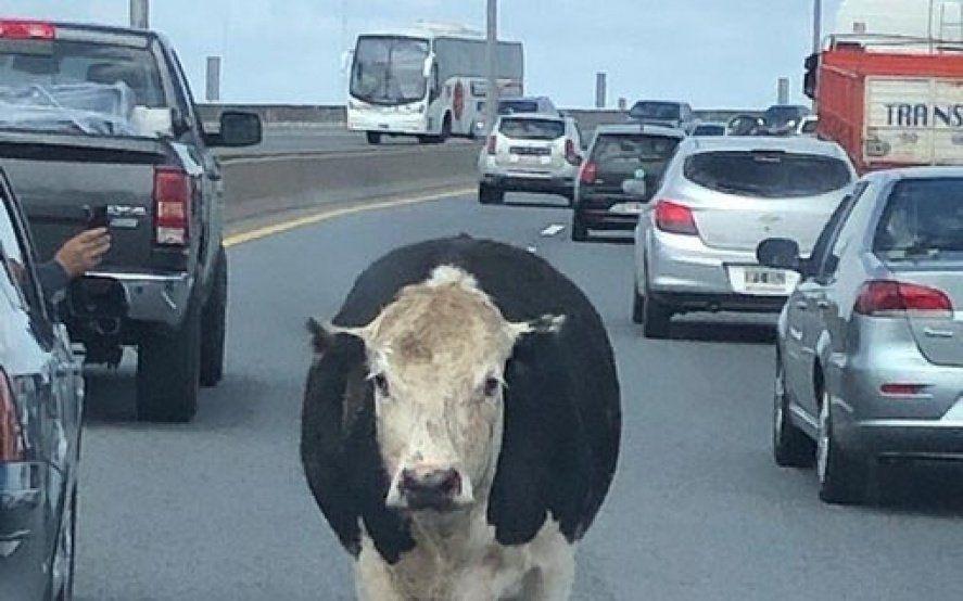 ¿Qué pasó con las vacas que escaparon del camión en la autopista Buenos Aires–La Plata?