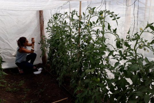 con una pequena avispa: investigadores buscan combatir una plaga del tomate platense