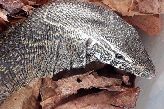 insolito: encontraron un extrano reptil de origen africano en el patio de una casa de mar del plata